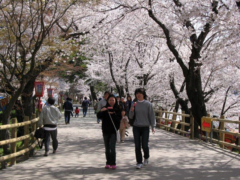 Walking beneath the sakura