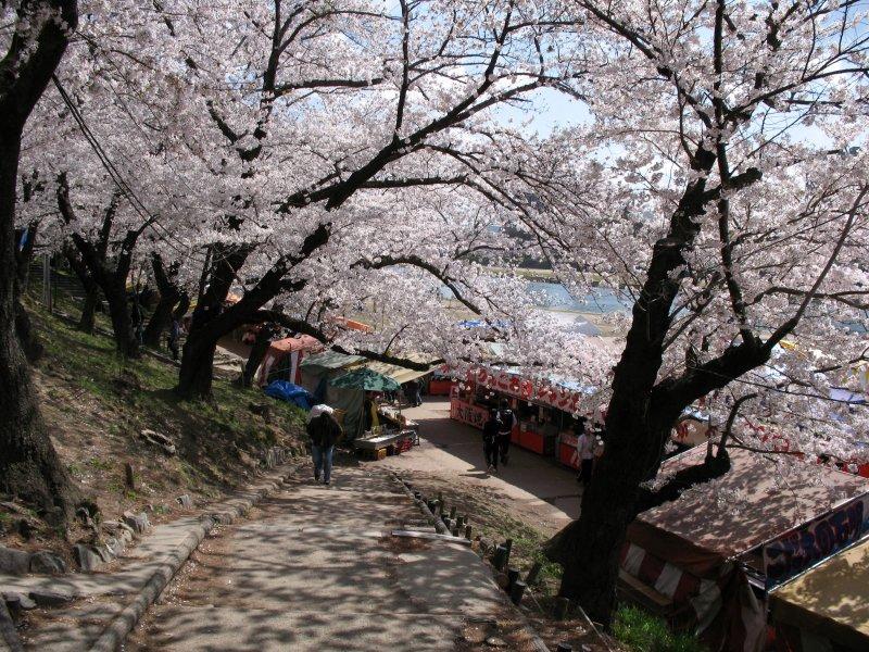 Path down through the cherry blossom trees