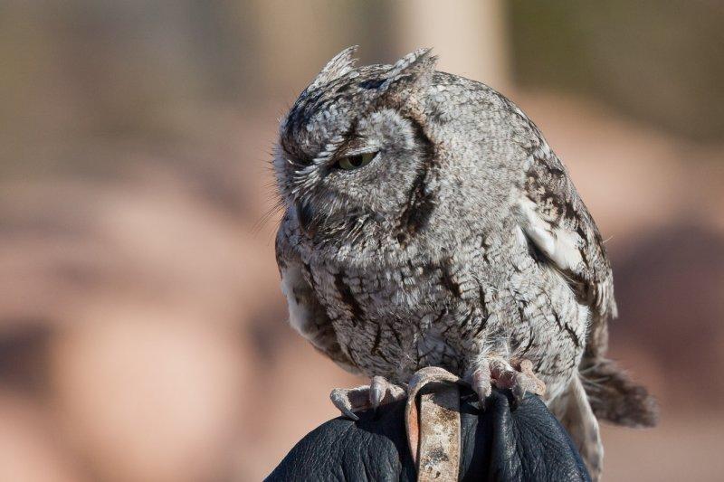 003_Burrowing owl__7041`1001140841.jpg
