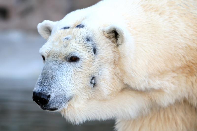 Battle Scared Polar Bear