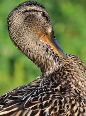 Mallard Female Headshot
