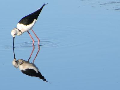 Pernilongo // Black-winged Stilt (Himantopus himantopus)