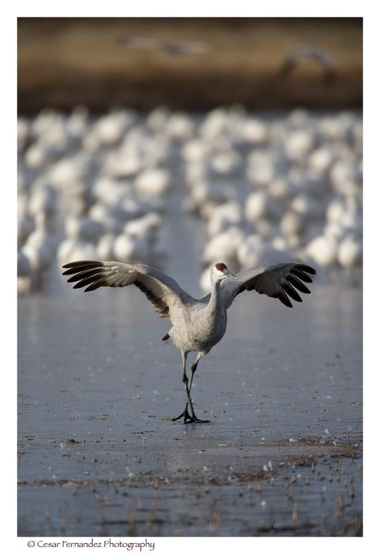 Sandhill-Crane.jpg