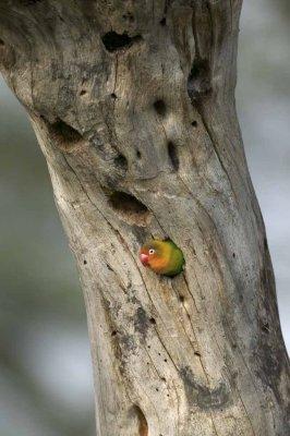 Love-Bird-in-Nest.jpg