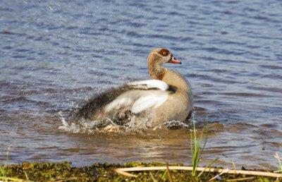 Egyptian-Goose-Male.jpg