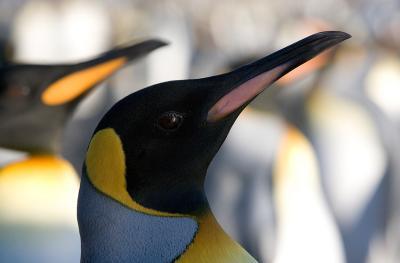Retrato de pinguino Rey