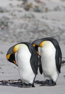 Grooming King Penguins