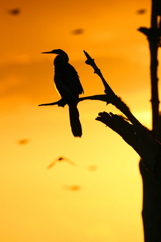 Anhinga Silhouette with birds flying by