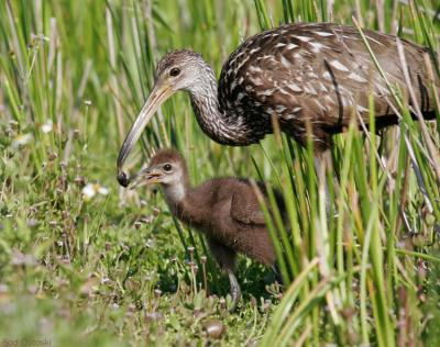 Limpkin feeding young snails