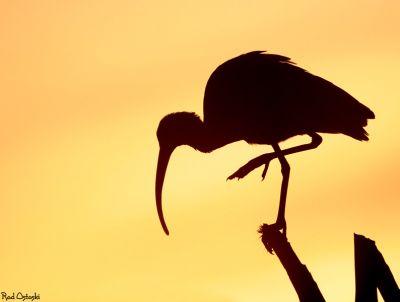 Ibis Silhouette