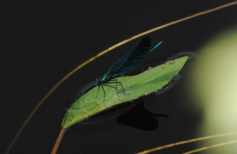Calopteryx-virgo_male.jpg