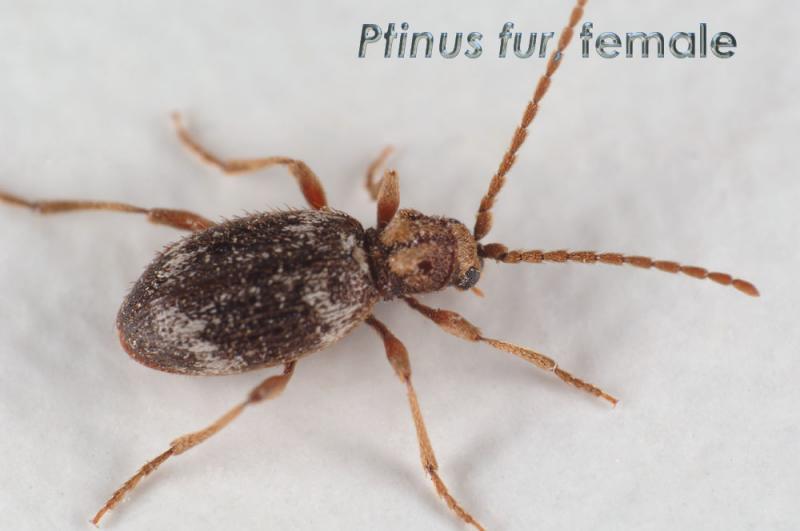 Ptinus-fur_f.jpg