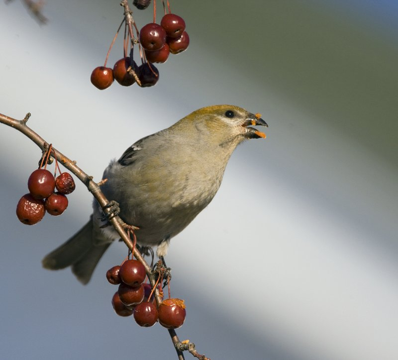 Pine Grosbeak 2855