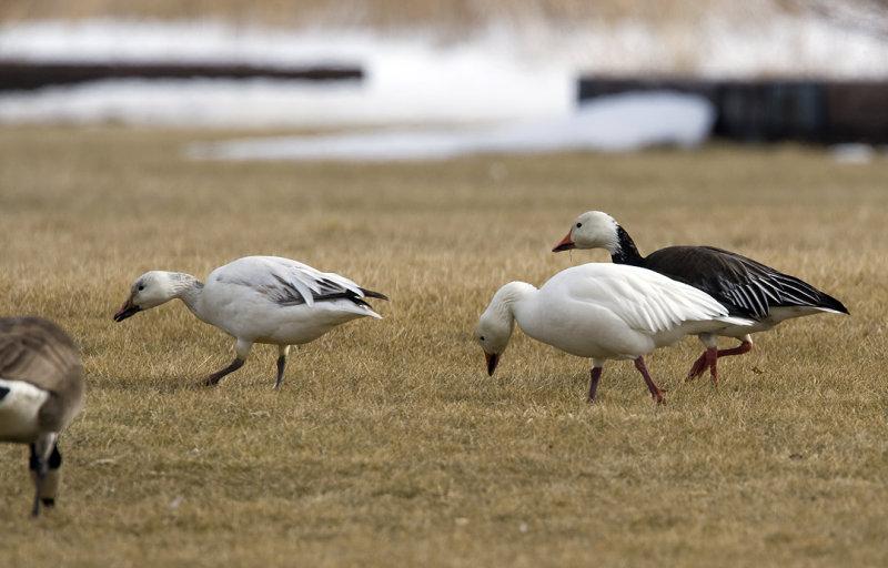 Snow Geese 3567