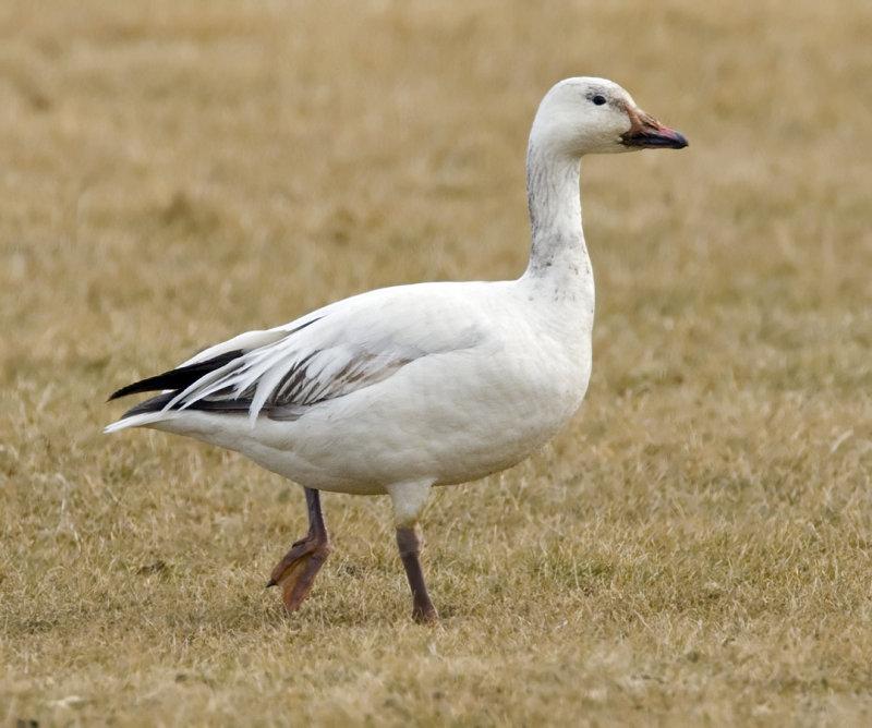 Snow Goose 3577