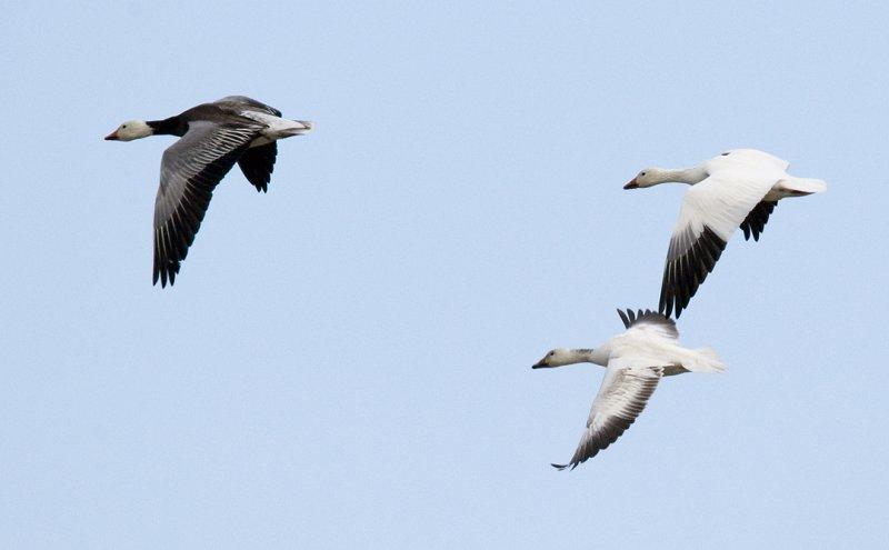 Snow Geese Flight 3583