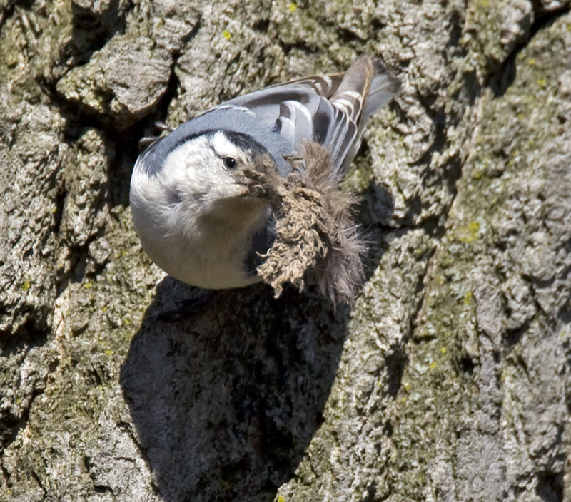 White-breasted Nuthatch with nesting material 3951