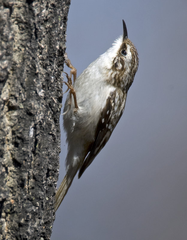 Brown Creeper 4002