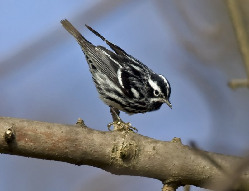 Black and White Warbler 4428