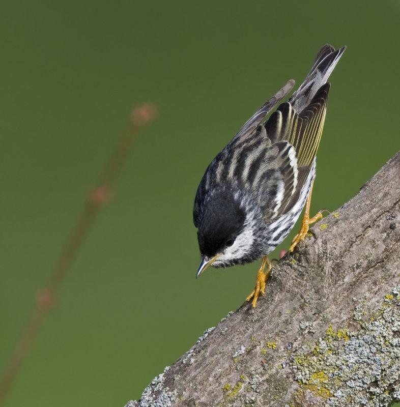 Blackpoll Warbler 4558