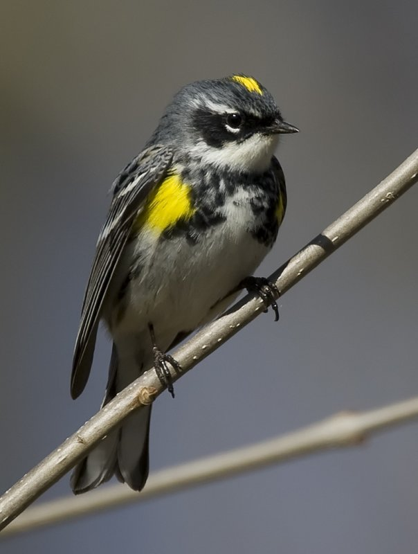 Yellow-rumpeed Warbler 4709