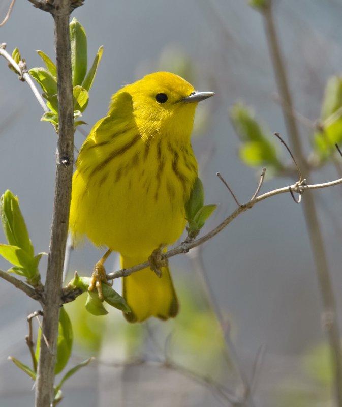 Yellow Warbler 5030