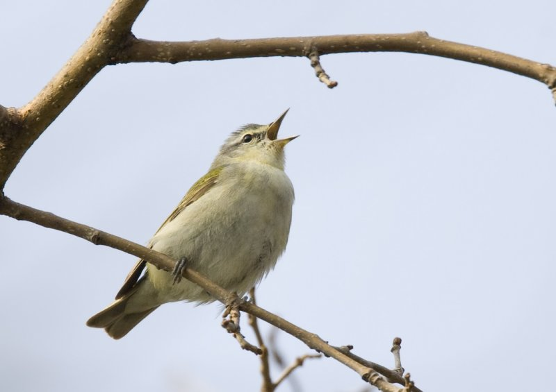 Tennessee Warbler singing 5768
