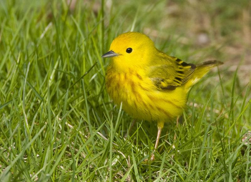 Yellow Warbler 5942