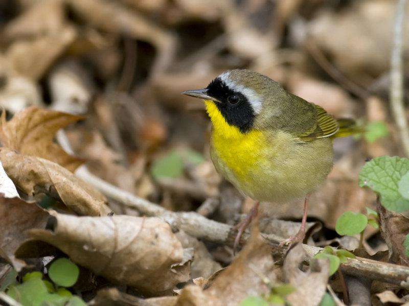 Common Yellowthroat 6002