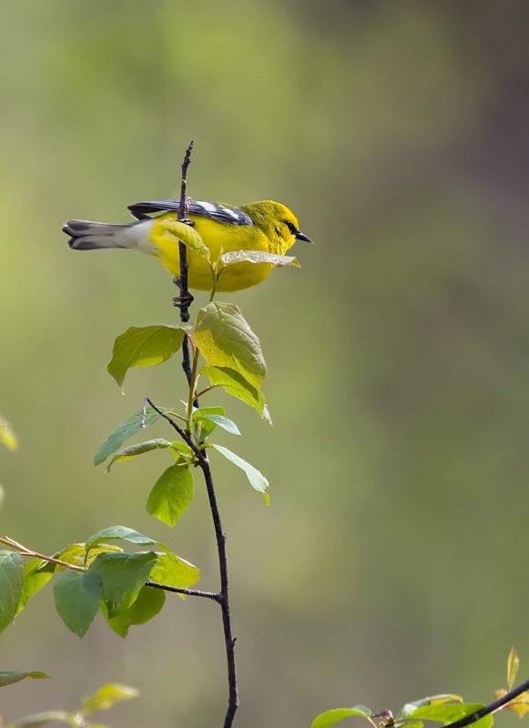 Blue-winged Warbler 6147