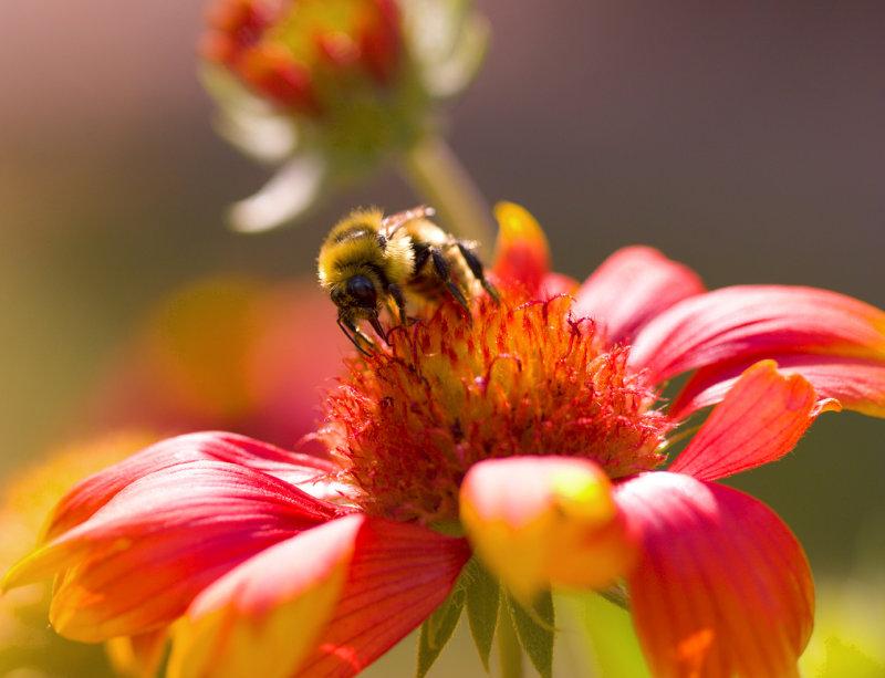 Bee on Gallardia 2
