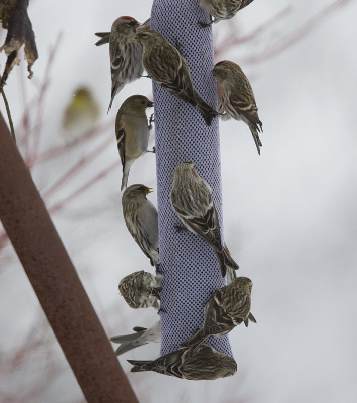 Hoary (center) and Common Redpolls