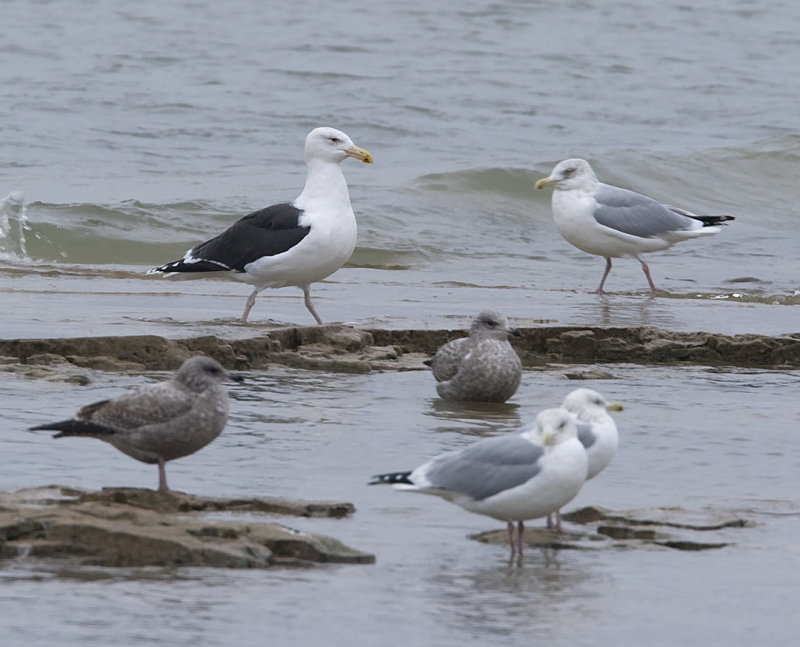 Great Black-backed Gull & Herrings