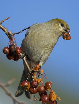 Pine Grosbeak 2831