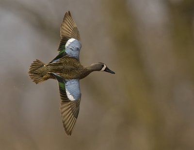 Blue-winged Teal 3873