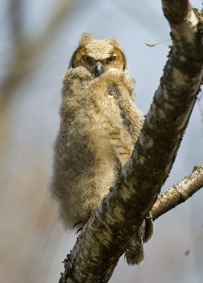 Great-horned Owlet 5568