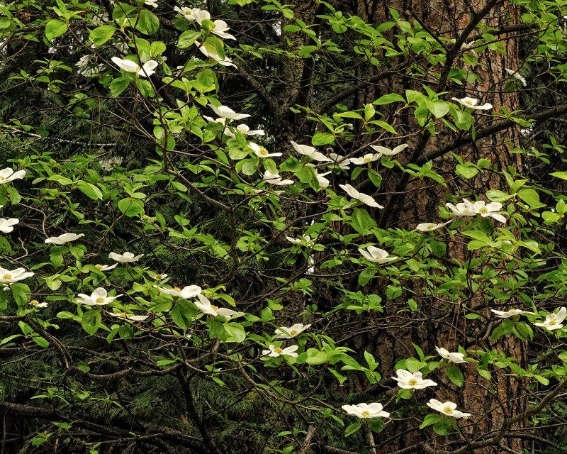 Dogwood blooms in Yosemite Village