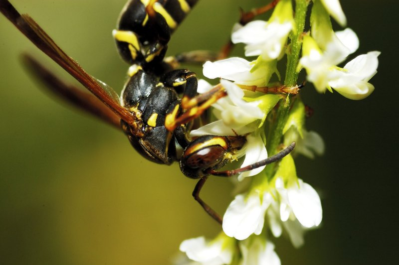 A  hornet - 1:1