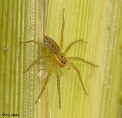 Six-spotted fishing spider (Dolomedes triton)