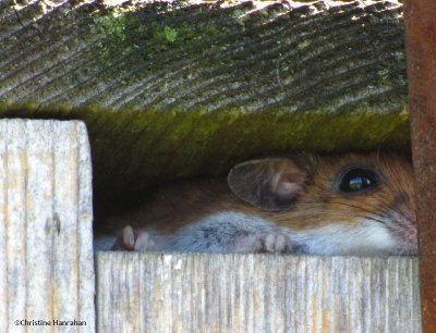 Mouse in nest box