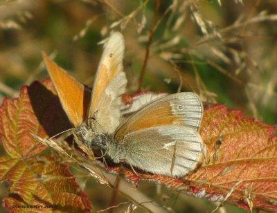 Common  ringlets (Coenonympha tullia)
