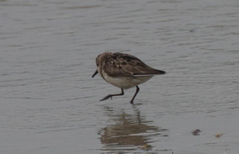 Confusing calidris - Duxbury Beach, MA - July 29, 2012  [2 of 7]