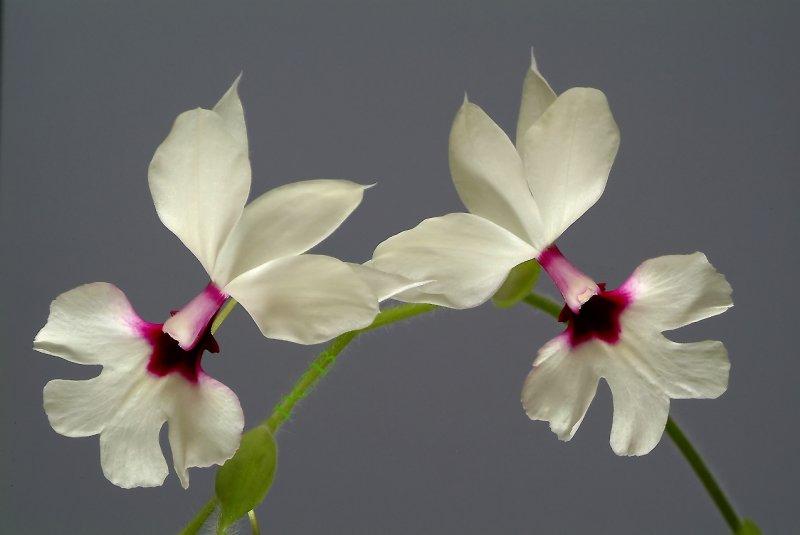 Calanthe rubens,  flower  4 cm