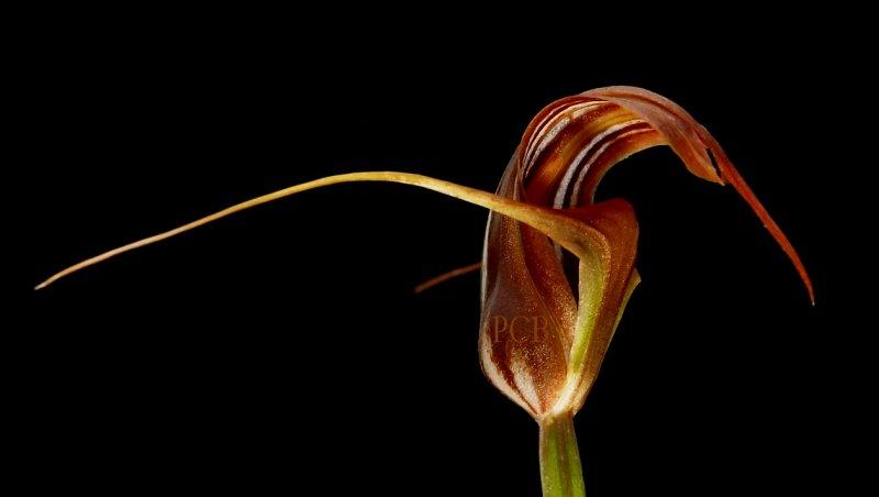 Pterostylis splendens, 4 cm