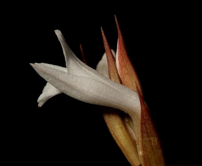 Eltroplectris roseo-alba,  2cm