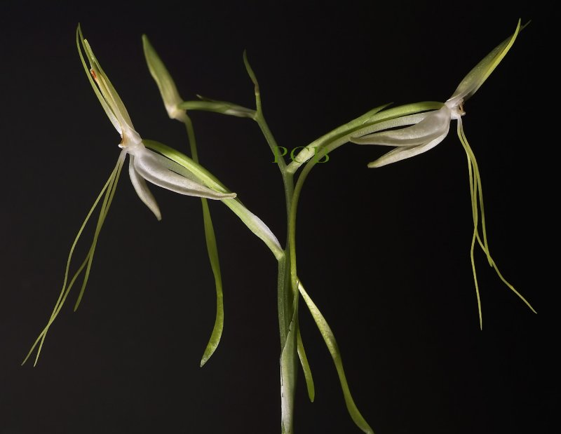 Habenaria macranda,  total height of flower  5 cm