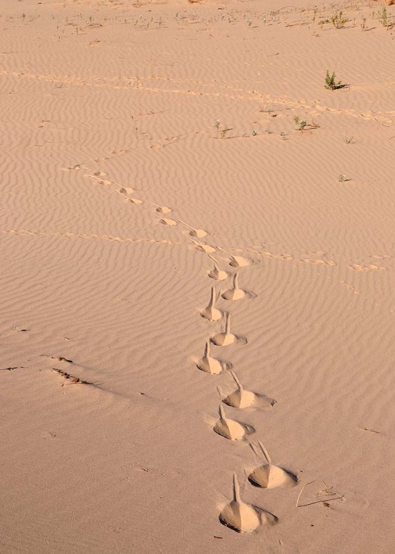 Unusual trail in the sand. Javalina maybe?