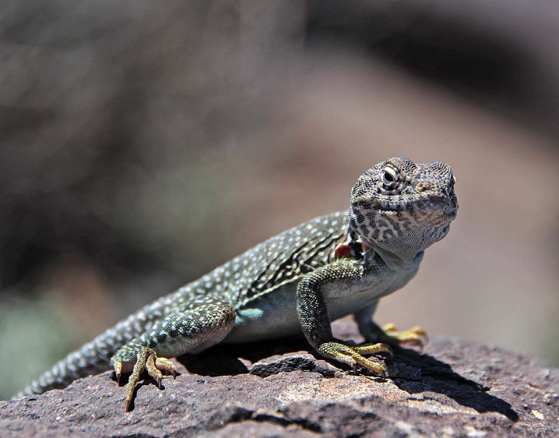 The guard lizard