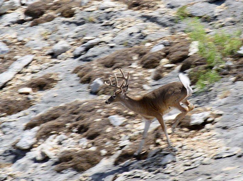 Buck along the Rim Trail