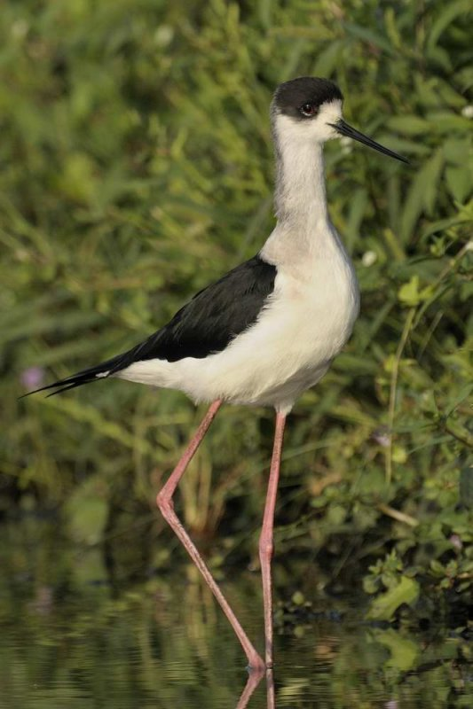 Black Winged Stilt  Gambia